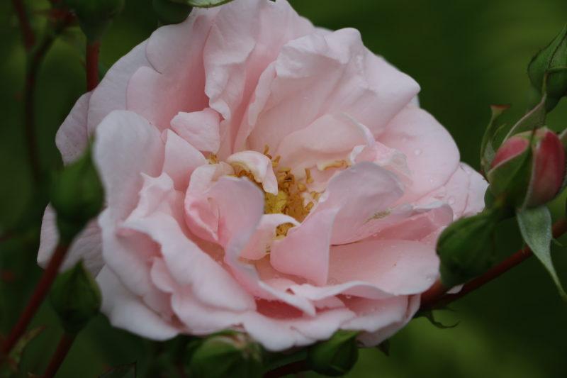Правильный выбор качественных саженцев роз — как определить и не прогадать