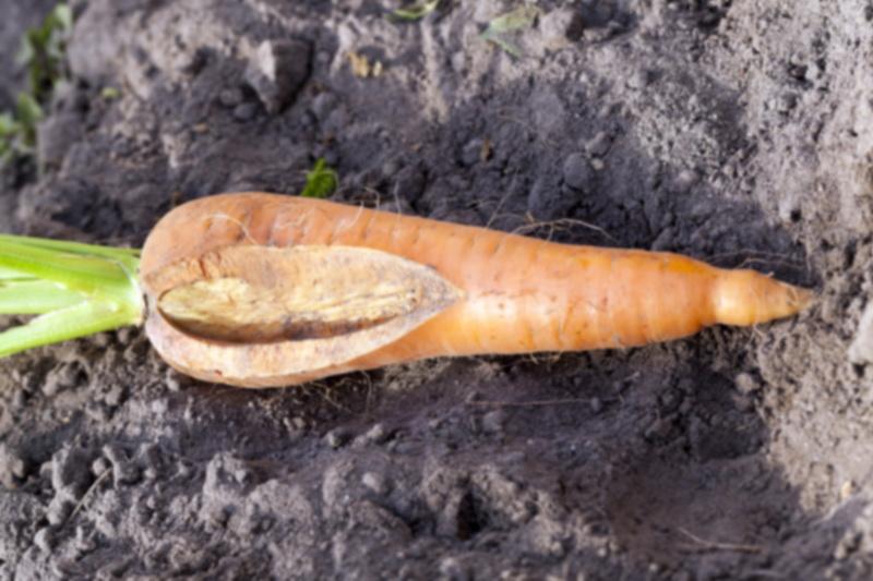 Угроза для моркови: болезни и вредители