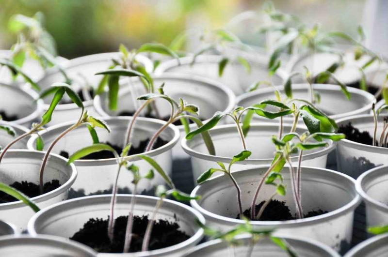 Основные правила выращивания рассады томатов