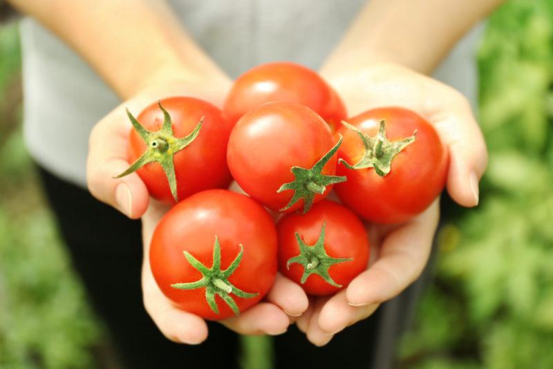 Как использовать спирт для ускорения созревания томатов