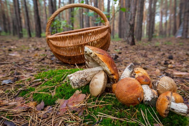 Собираем полные корзины грибов: советы для удачной тихой охоты