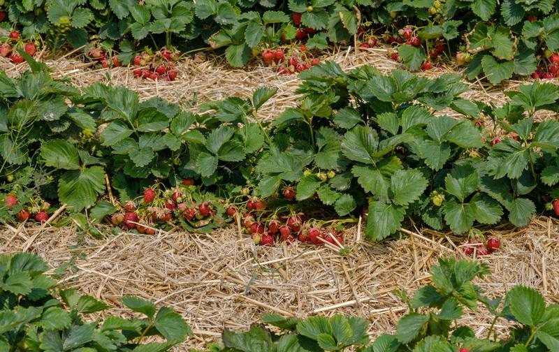 Получаем большой урожай клубники: весенний уход за культурой