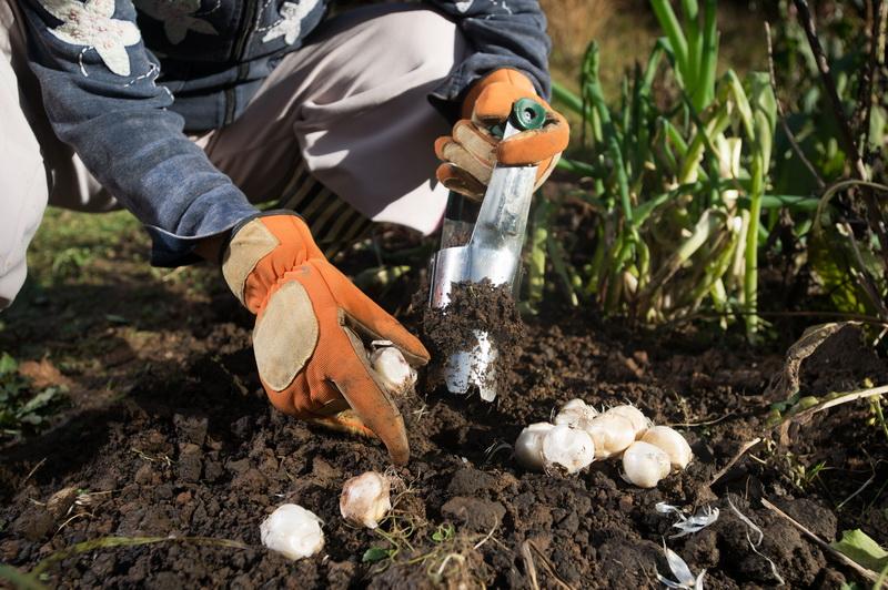 Выращиваем тюльпаны правильно: как выкапывать и сажать