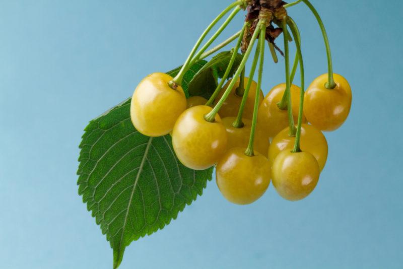 Сорта самоплодной черешни, дающие высокий урожай