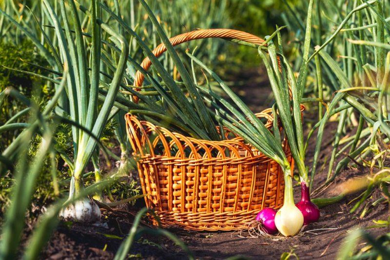 Выращиваем зеленые перья: лучшие сорта лука для выгонки