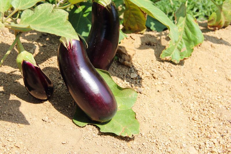 Выращиваем рассаду баклажанов дома