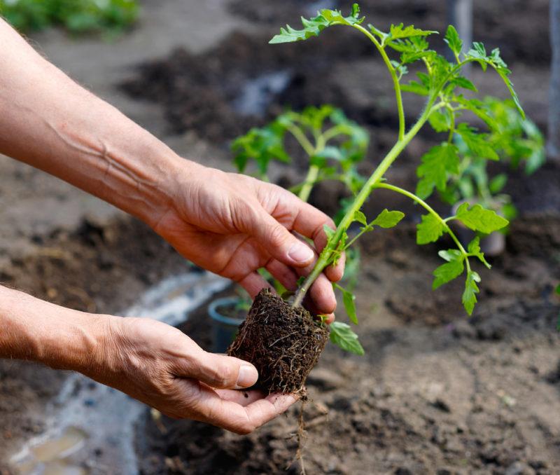 Какие подкормки следует добавлять в лунки при высадке рассады томатов в парник