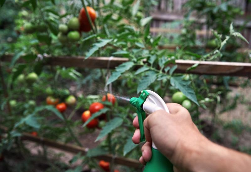 Как повысить урожай томатов на маленьком участке — посадка помидоров по методу Митлайдера