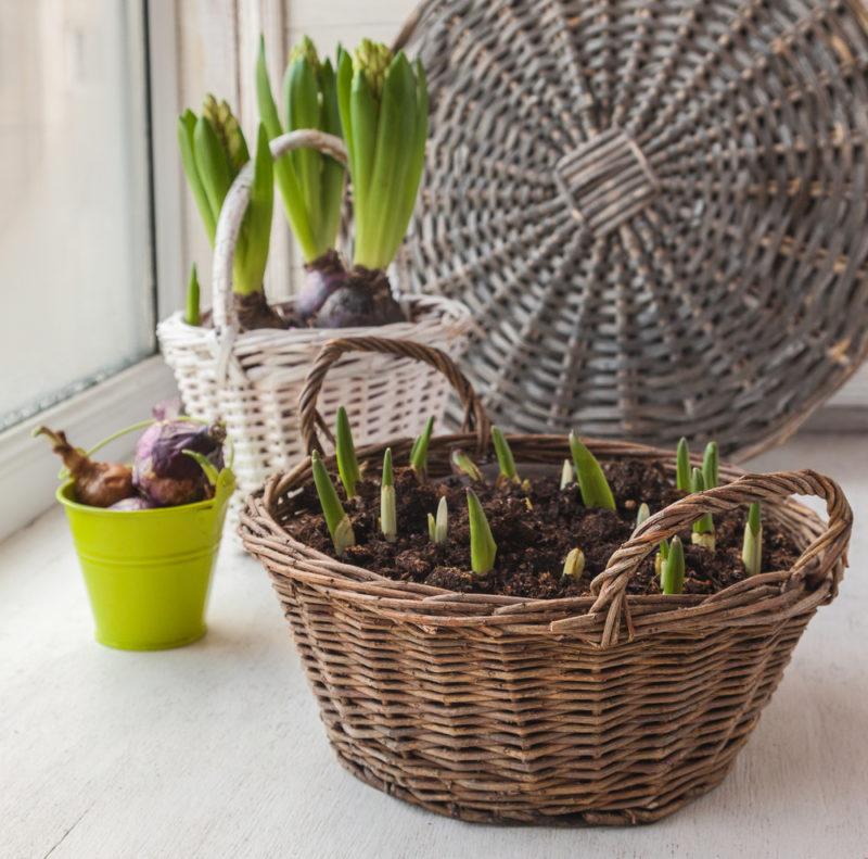 Все, что вы хотели знать о посадке тюльпанов