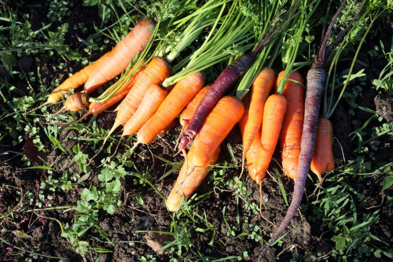 Какие растения можно посадить после томатов в следующем сезоне и текущем году