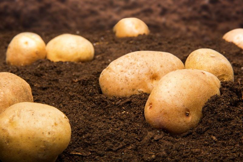 Картофель без колорадского жука, возможно ли это?