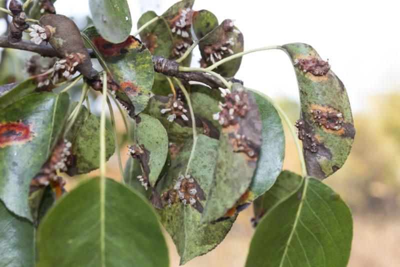 Все нипочем! Как бороться с почернением и скручиванием листьев груши?