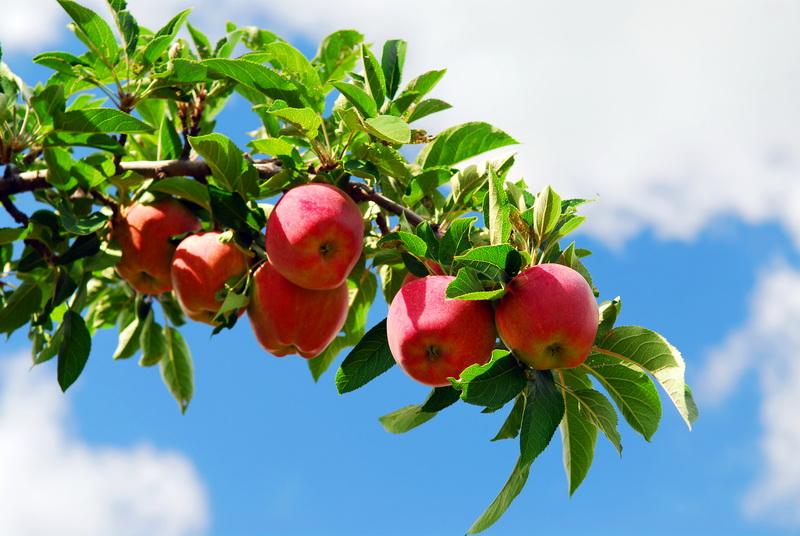 Особенности выращивания плодовых культур на Севере