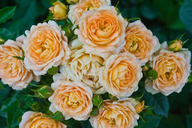 Популярные сорта роз, цветущие на протяжении всего летнего периода