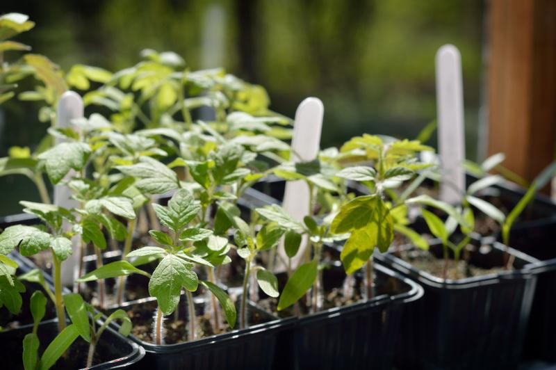 Коварные пасленовые. Как вырастить рассаду томатов и перца?