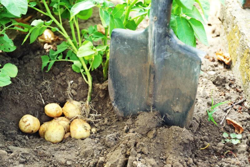 Выберите лучший картофель для своего огорода: топ-5 урожайных голландских сортов