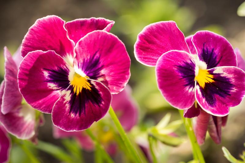 Создание клумбы, радующей осенним пышным цветением