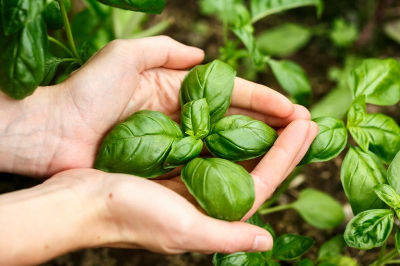Как избежать 7 распространенных проблем при выращивании базилика