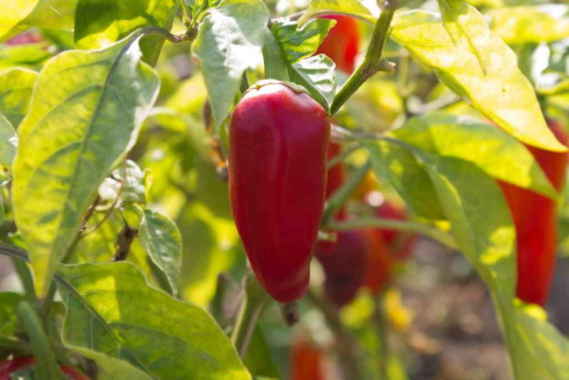 Хорошие и плохие соседи при выращивании болгарского перца