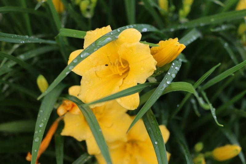 8 растений для цветника, требующих минимального внимания