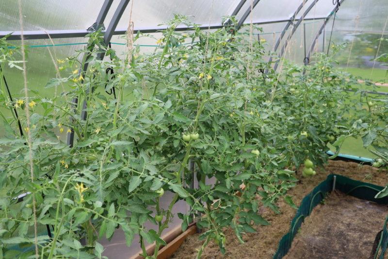 Много солнца полезно не всем: как уберечь томаты от перегрева в парнике и получить богатый урожай с каждого куста