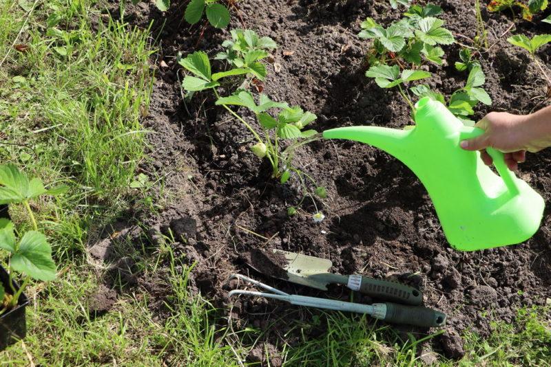Весной посадили клубнику — собрали урожай в конце августа. Как этого добиться