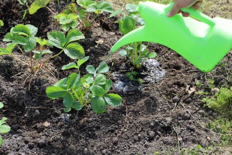 Подкормка клубники: раскрываем секреты богатого урожая