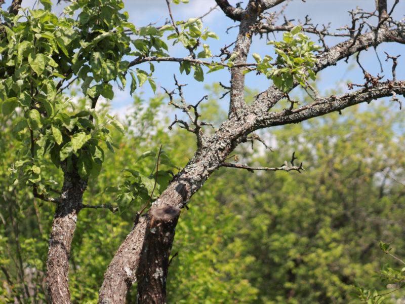 Ошибки садоводов: почему гибнут плодовые деревья на садовых участках