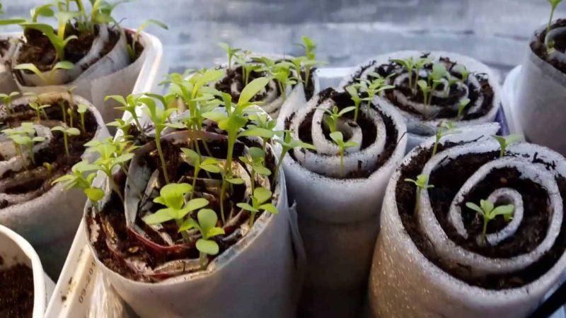 Передовой метод выращивания рассады в улитка и пеленках — компактно и удобно