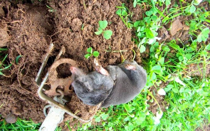Лучшие способы борьбы с землеройкой на приусадебном участке