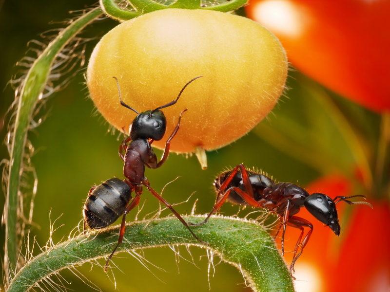 Как распрощаться с муравьями в саду