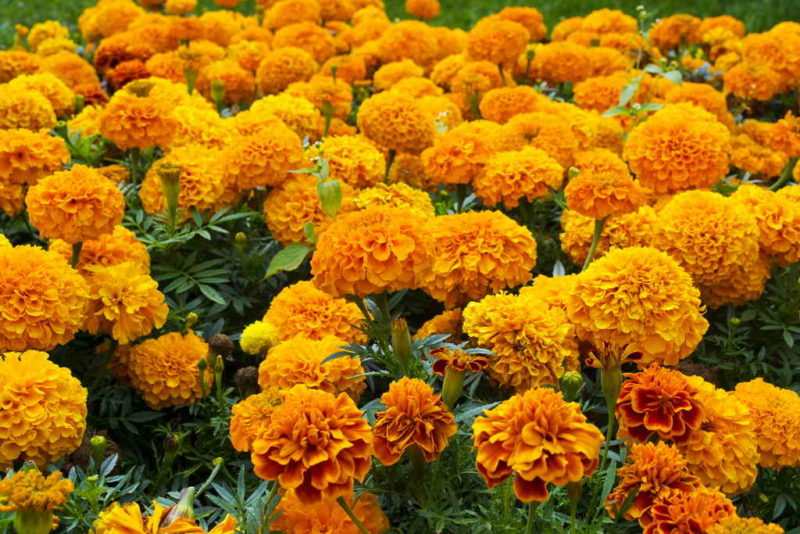 10 неприхотливых однолетников без рассады для живописного цветника