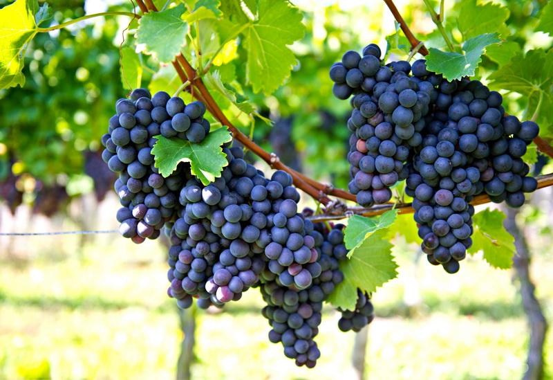 Правильно формируем виноград: важность грамотной работы, схемы формирования и их особенности