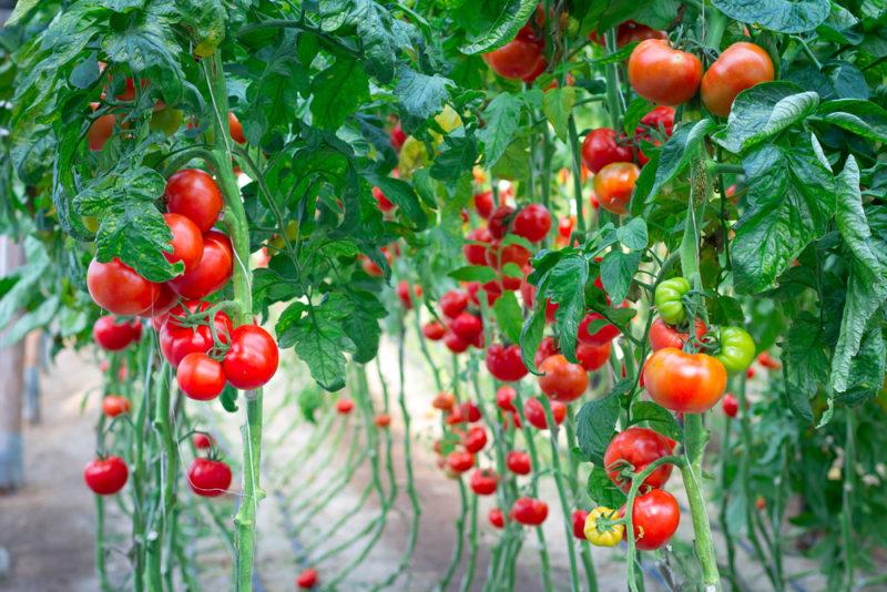 Самые лучшие народные средства для удобрения томатов