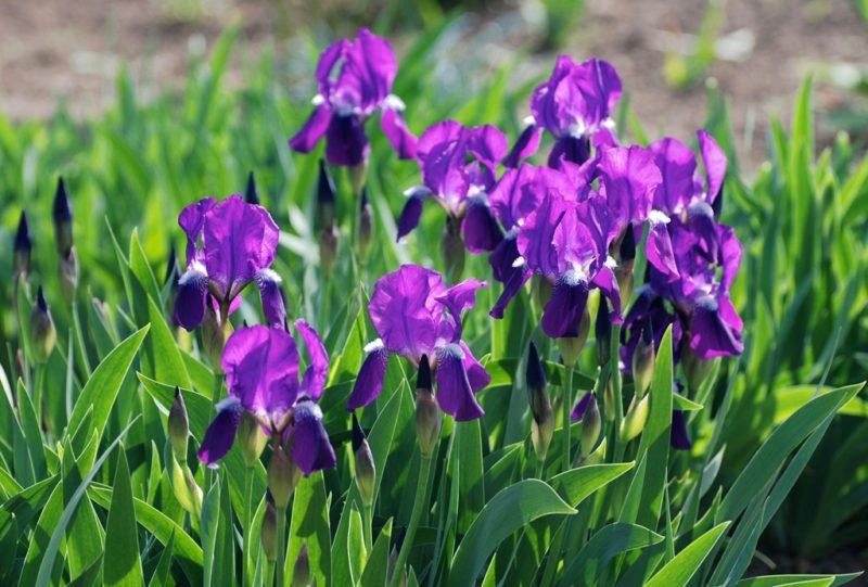 Шикарные цветы для клумбы — 10 отличных вариантов