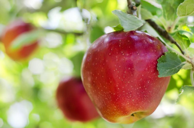 Яблоки гниют, не успевая созреть: как не потерять урожай