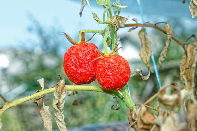 Способы защиты томатов от жары