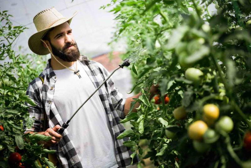 Как использовать аспирин, выращивая помидоры