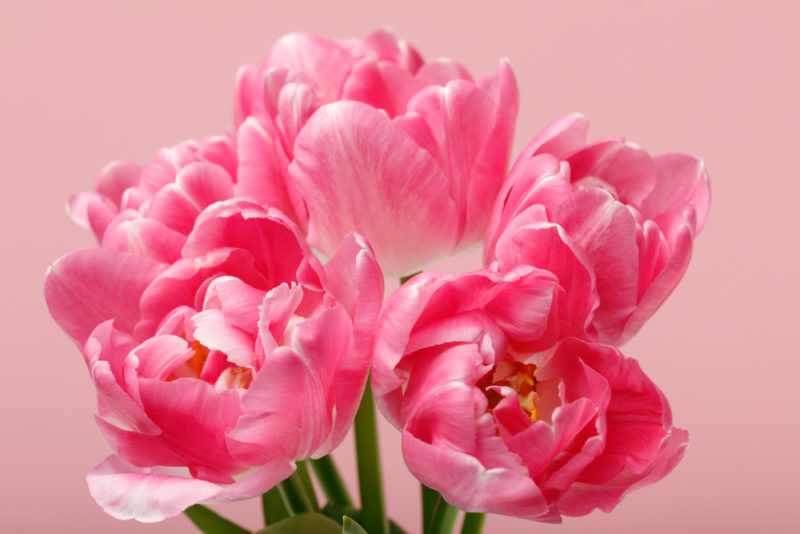 Подкармливаем тюльпаны весной и после окончания цветения