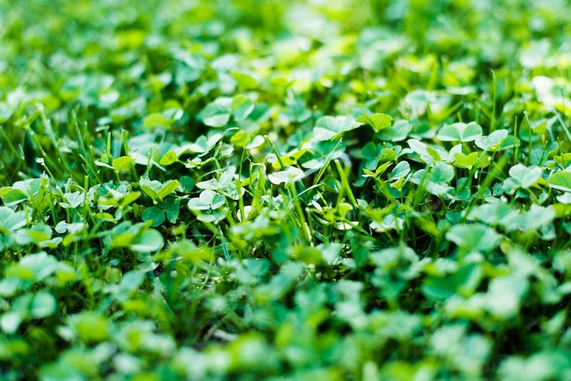Сидераты — отличные зеленые «компаньоны»