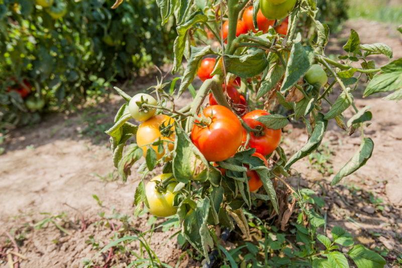 Уход за томатами: правильная обрезка листьев