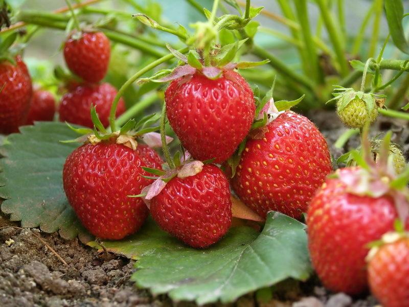 Хотите получить хороший урожай клубники? Подкормите ее во время цветения