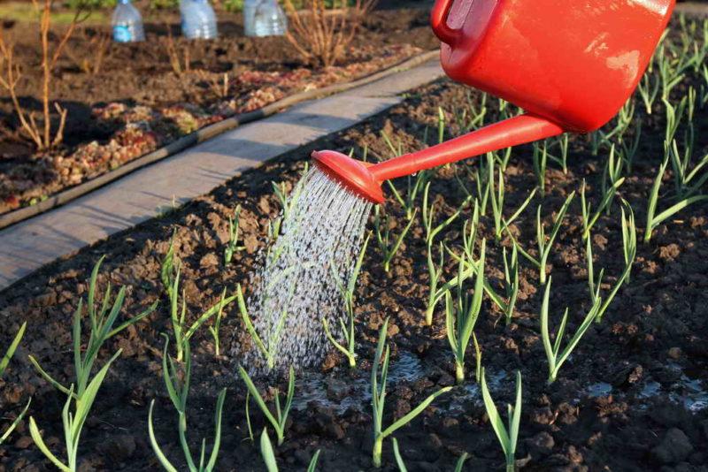 Совместимость огородных растений и чеснока