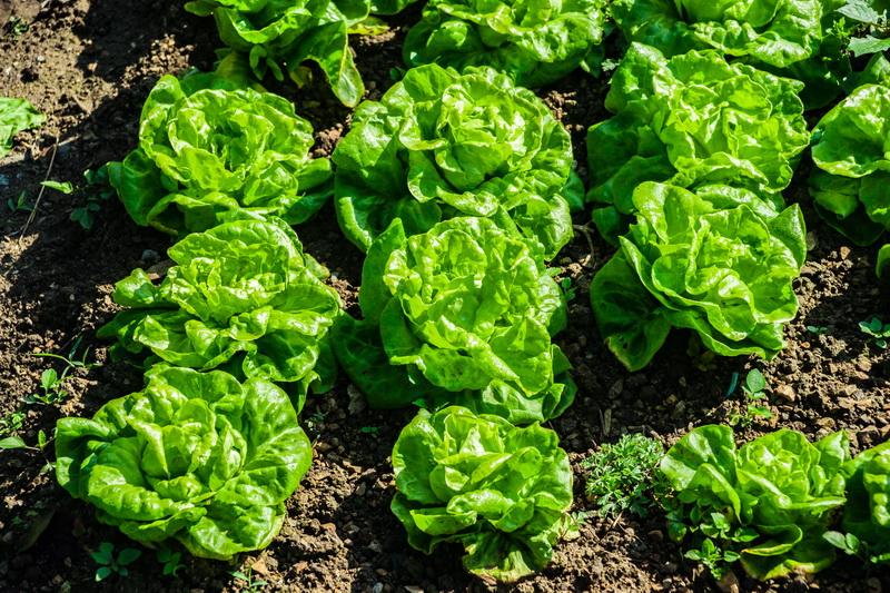Восточная капуста для аппетитных салатов