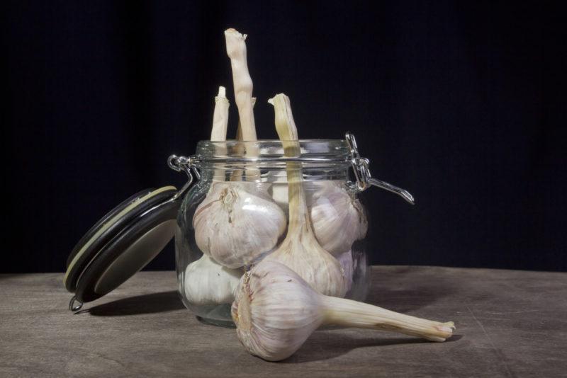 Выращивание озимого чеснока: описание лучших сортов