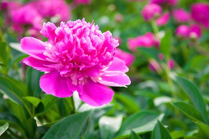 Подкормка пионов весной: как добиться пышного цветения, какие удобрения наиболее популярны