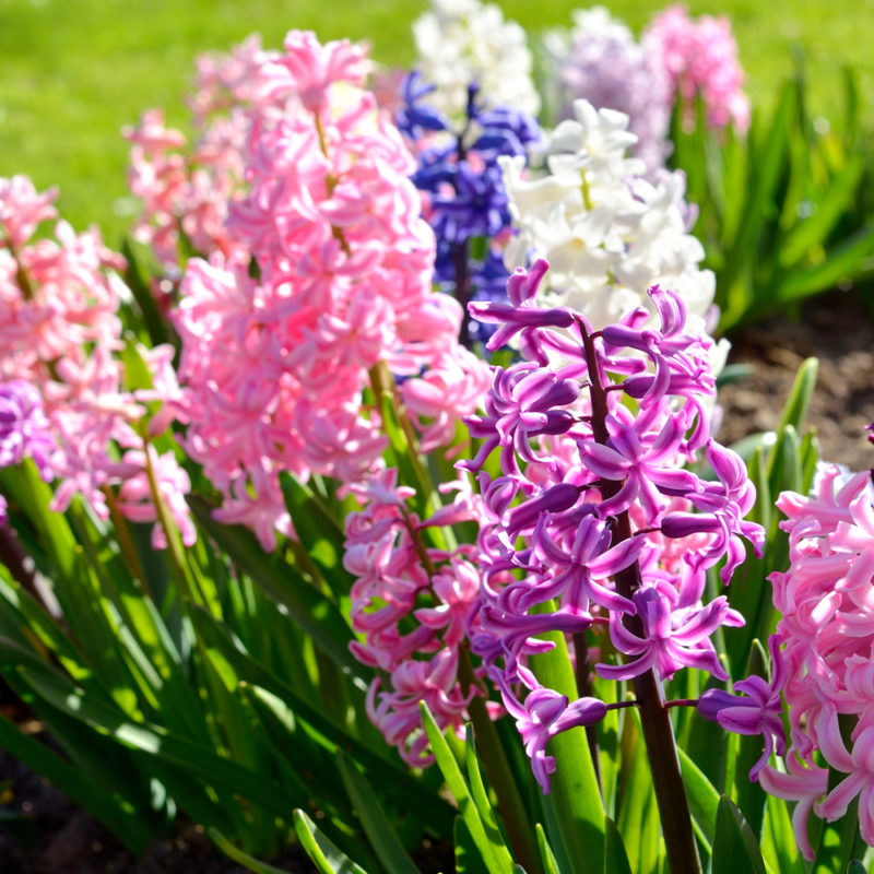 Правила хранения луковиц тюльпана, нарцисса, крокуса и гиацинта после цветения