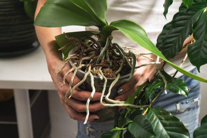 Что делать, если у орхидеи появились воздушные корни