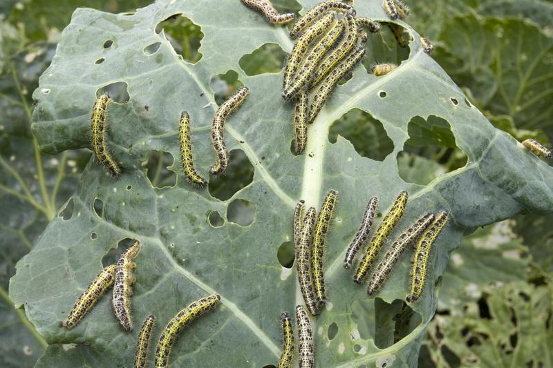 Эффективные натуральные способы борьбы с капустной гусеницей