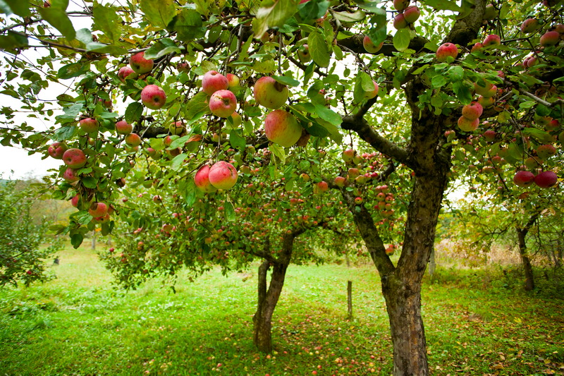 Почему у яблони трескается кора: причины и лечение